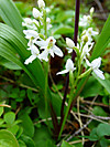 2014628dsc01387roundleaved_orchidor