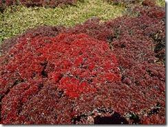 16コメツツジの紅葉、黒っぽいのは時期が過ぎたみたい