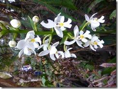 12蘭の花?