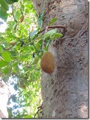 3-112日目のポッパ山麓トレッキング(熟すと食べられる、ドリアンみたいな果物)