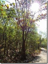 3-302日目のポッパ山麓トレッキング、チークの幼木