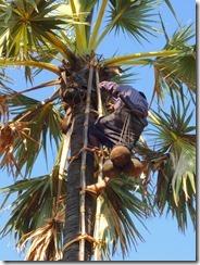 2-05棕櫚の木から油を採取