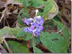 2-36トレッキング中でであった花、今は乾季で花芽が少ないらしい