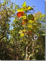 3-312日目のポッパ山麓トレッキング、チークの幼木