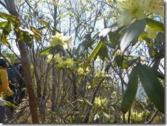 21登山道わきにヒカゲツツジが咲いています