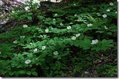IMG_8319-ヤマシャクヤクの見事な開花