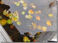 20イモリが沢山泳いでいたが写真ではよく見えない