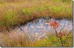 12小さな池塘のヒツジグサの葉紅葉