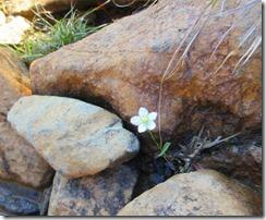 05岩陰にウメバチソウ