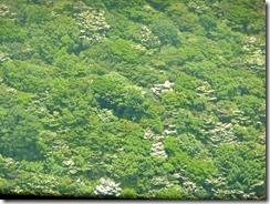 20山頂から見るヤマボウシ