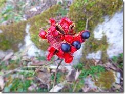 1-27ヤマシャクの種です。5月にはヤマシャクが咲くのです