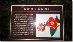 3-07幻の椿「玉之浦」
