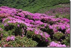 ミヤマキリシマの平治岳(九重連峰、大分県)