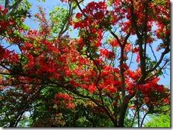 18綺麗に咲くヤマツツジ