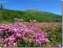 4 咲き誇るミヤマキリシマツ
