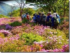 2 ミヤマキリシマの咲き誇るツツジが原