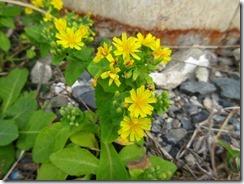 42近くにたくさんあったホソバワダンの花