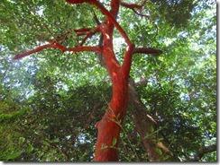 09-2社殿の中ではバクチノキの赤い樹葉だが目立つ