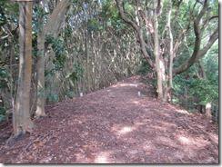 14マテバシイの萌芽林の中