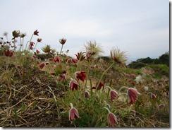 40 開花後、ひげ状になり、それが「翁」に見えることからオキナグサ