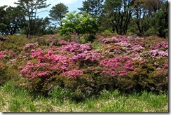 IMG_5628-お花畑のミヤマキリシマ