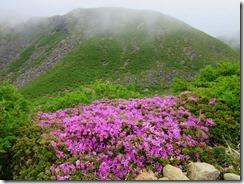 000久住登りでのミヤマキリシマ