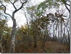 1-09シャクナゲも出てきました。扇山はシャクナゲが有名ですが花芽がないので来年は咲かないかな?
