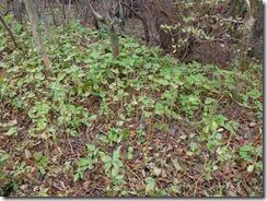 15縦走路にはミカエリソウが長くあります。開花は9月中旬ぐらいかな