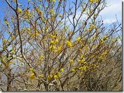 29ダンコウバイが咲いていました