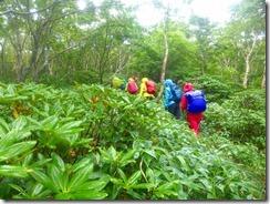 3-15 シャクナゲの登山道、残念ながら花芽はありませんでした。
