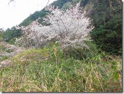 19 山里の桜も綺麗でした