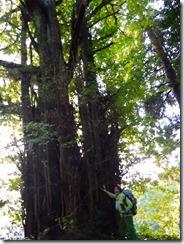 18樹齢1300年の大イチョウ