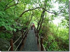 16遊歩道からオオヤマレンゲを見る