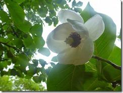 20オオヤマレンゲガきれいに咲いていました