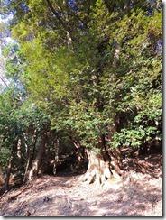 45スダジイの大木