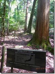 05小松神社の大杉です