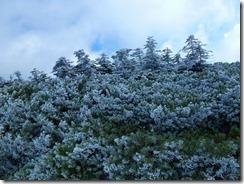 16ハイマツ、シラビソが雪化粧です