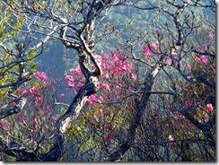 20 アケボノツツジも咲いていました、しかし終わりごろかな?
