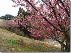 1-16基地には寒ヒザクラが咲いていました