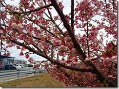 1-15基地には寒ヒザクラが咲いていました