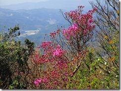 12 ミツバツツジが早咲きしてました