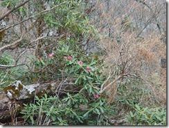 2-27登山道に石楠花