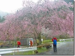 24 下山地の小野あきつのスポーツ公園の枝垂桜も満開