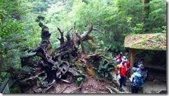 4-09蛇紋杉