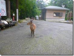 4-13鹿も迎えてくれましたP1030152