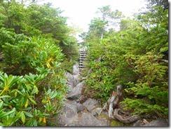 3-09ハクサンシャクナゲが登山道わきにたくさんあります