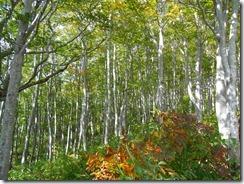 27樺林がきれいです