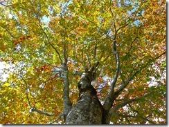 26ブナの大木も色づき始めています